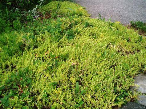 sedum ground cover now you sedum in the ground and elsewhere joene s garden