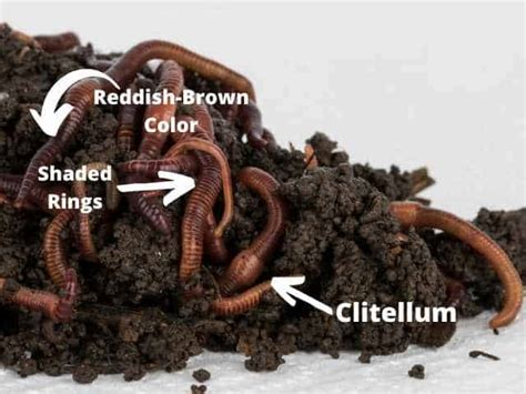 wiggler wigglers guide identify worms inches they earthworms stages interactive clitellum identification diameter five length similar two rings