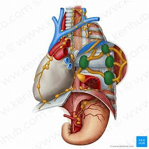 Lymph Nodes  Definition  Anatomy And Locations