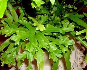 Fougère Pteris Cretica : pteris rowerii varens ferns foug re shida rui pinterest fern and gardens ~ Melissatoandfro.com Idées de Décoration