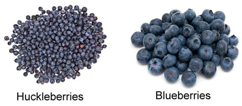 what color are blueberries huckleberries vs blueberries similar yet so different