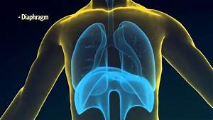 2  How Do Your Lungs Work