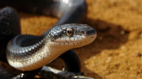 Black Garden Snake by Is That Snake Venomous Mnn Nature Network