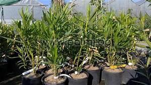 Oleander Im Winter : nerium oleander 39 provence 39 oleander rosa orange winterhart ~ Orissabook.com Haus und Dekorationen