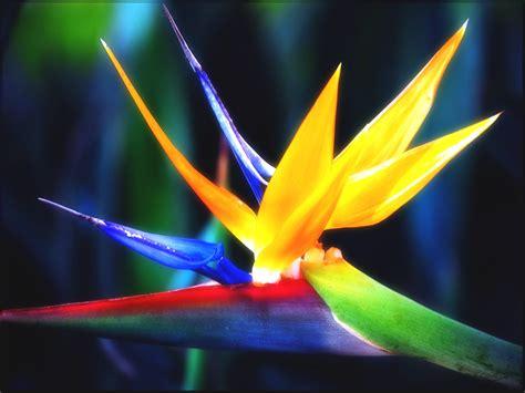 bird of paradise flower homes bird of paradise flowers