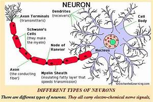 Neuron Axon Terminal Diagram | Like Success