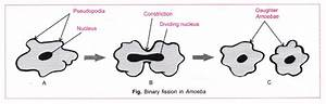 Cbse Class 10 Science Practical Skills  U2013 Binary Fission In