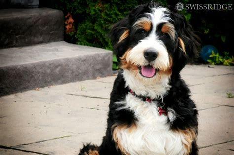 Tiny Non Shedding Dog Breeds by Bernedoodle