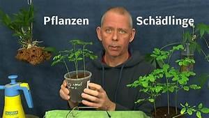 Neem Gegen Blattläuse : thripse an zierpflanzen behandeln neem auch gegen andere ~ Watch28wear.com Haus und Dekorationen