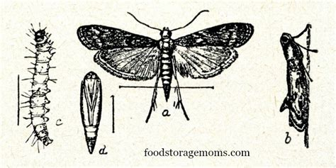 Moths In Pantry Where Do They Come From How To Get Rid Of Pantry Moths In Your Kitchen Food