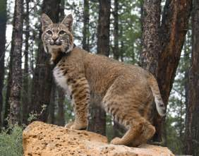 bob cats bobcat animal wildlife