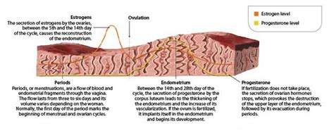 Shedding Of The Endometrial Lining Occurs by What You Should About Thin Endometrial Uterine Lining