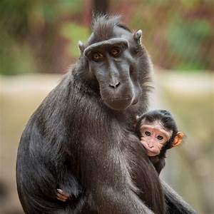Rare Breed Of Monkey Born At Chester Zoo
