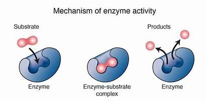Enzyme Illustration