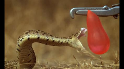 breathtaking slow motion puff adder attack deadly