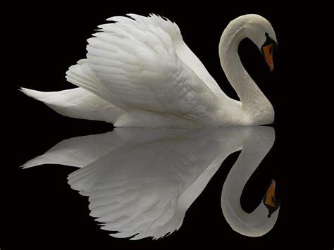 white swan reflection   black lake faxo faxo