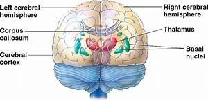 brain-hemispheres.html 49_13CerebrumRearView-L.jpg
