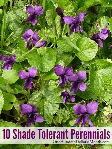 10 shade tolerant perennials one hundred dollars a month