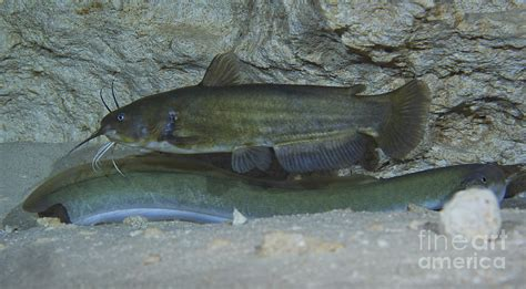 large brown bullhead catfish boldly photograph  terry