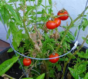 tomatoes in the garden recipe roasted tomato soup on the cusp
