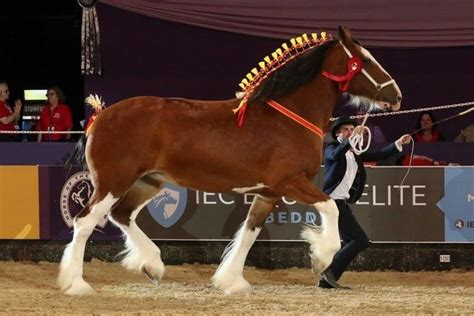 horse shire gentle giant facts horses breed important choosing breeds