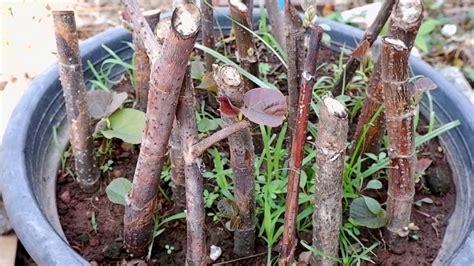 ปักชำกิ่งต้นโพธิ์ทะเล โครตง่ายรอดทุกต้น - YouTube