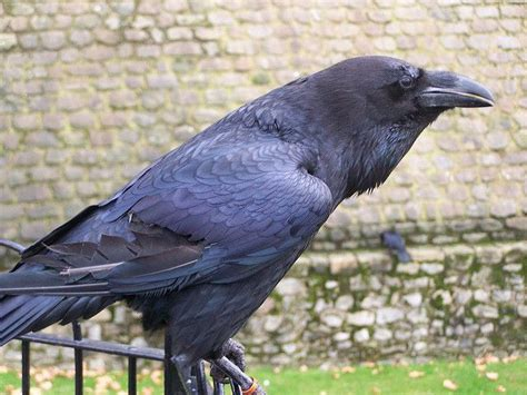 tower of london s crow by lucid absinthya via flickr
