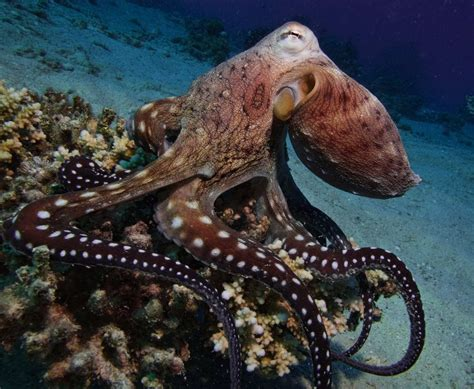 what color is an octopus why is octopus blood blue the pigment that gives the