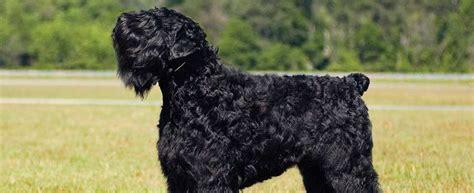 black russian terrier dog breed profile petfinder