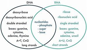 32 Dna And Rna Venn Diagram