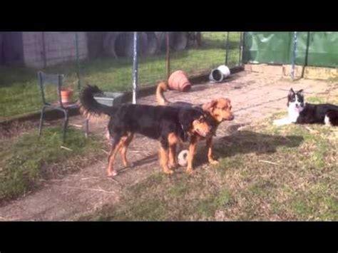 border collie croise beagle hovawart chiot terre neuve