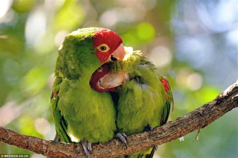 True lovebirds! Feathered friends enjoy a quick nuzzle in ...