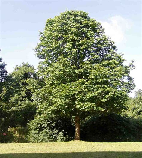 chestnut trees in chestnut tree pictures facts on chestnut trees