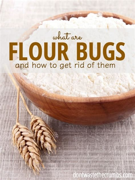 flour bugs  prevention  bugs   rice