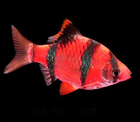 glofish barb  sale aquariumfishnet