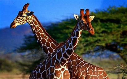 Giraffe Wallpapers Animals Wallpapersafari Library