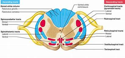 Peripheral Nervous System Spinal Cord Sensory Motor