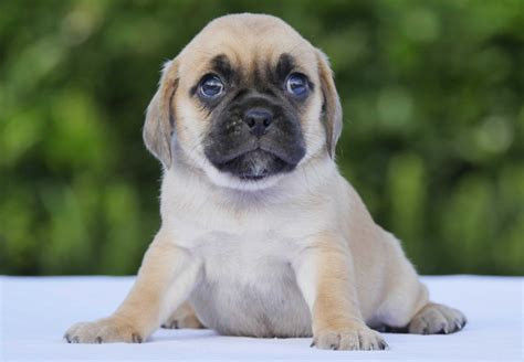 Puggle Puppies For Sale Chevromist Kennels