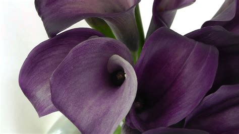 purple calla purple calla lilies wallpaper images