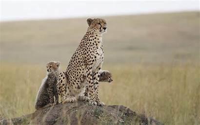 Cheetah Animals Nature Wildlife Feline Leopard Wild