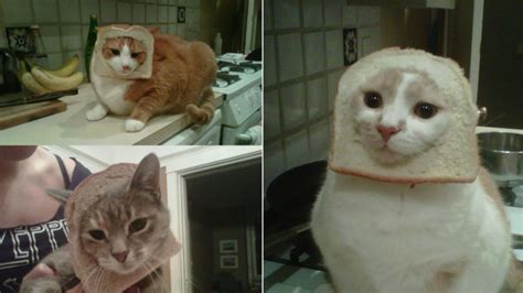 hot  internet meme breading cats