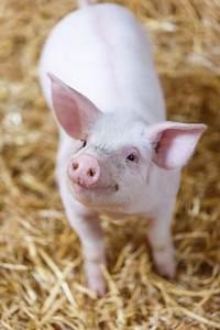 Smiling Pig Free Stock Photo