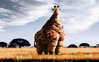 Giraffe Desktop Backgrounds Funny Fat Wallpapers Cool