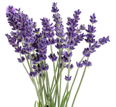 lavender and mosquitoes 7 plants that repel mosquitoes naturally from home