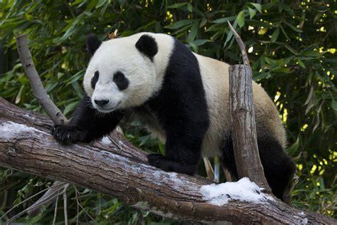 san diego zoo panda returning  china kpbs
