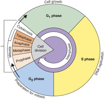Cell Cycle Overview  Biology Socratic