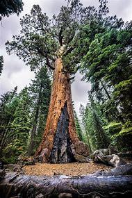 Sequoia Grove Yosemite National Park