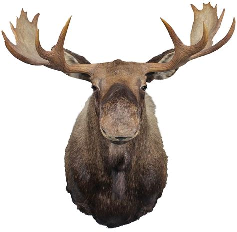 Moose Head Wall Decal - Animal Stickers - Primedecals