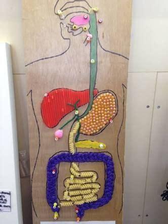 digestive system model google search human digestive