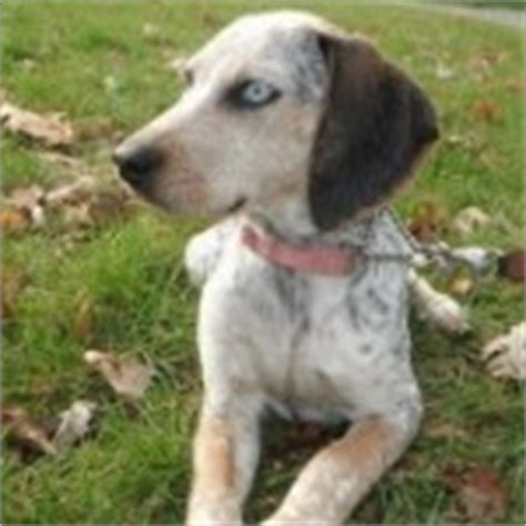Do Walker Coonhounds Shed by Coonhound Archives Allmutt